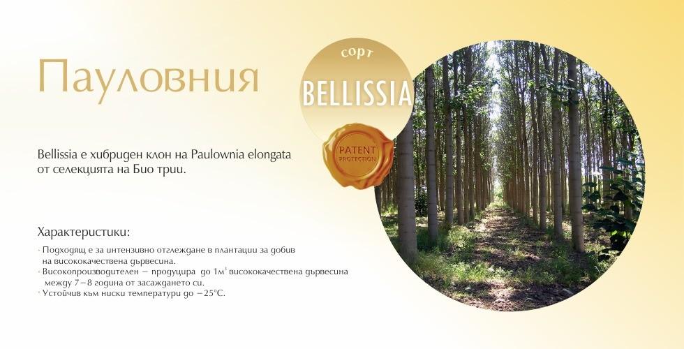 Bellissia – хибриден клон на Пауловния