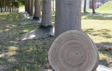 пауловния Bellissia